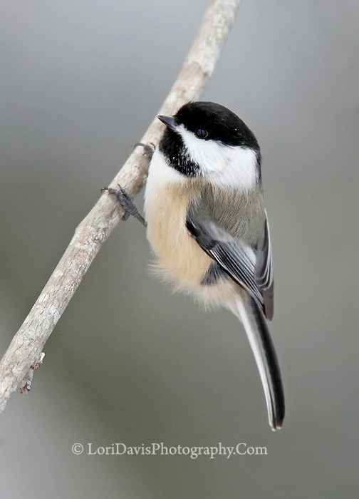 Black Capped Chickadee  #B37