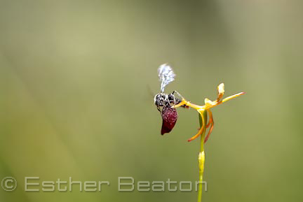 King-in-his-carriage Hammer Orchid (Drakaea glyptodon) being mated by a male Thynnid wasp (Zapilothynnus trilobatus) near Yallingup, Margaret River area of Western Australia.