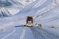 Truck and caribou on the James Dalton Highway, Alaska, Atigun Canyon, Brooks Range