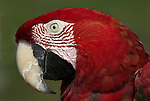 Red & Green Macaw, Ara Chloroptera, portrait, Manu, Peru, Amazonian Jungle, showing large beak. .Peru....
