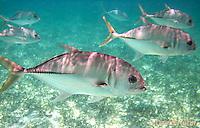 0109-1203  Small School of Horse-eye Jacks (Giant-eye Jack) in Caribbean Reef, Gamefish, Caranx latus  © David Kuhn/Dwight Kuhn Photography