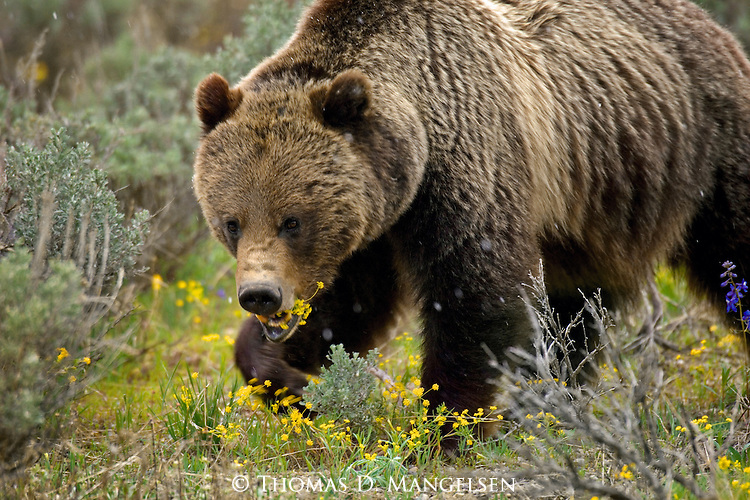 A grizzly bear grazes on sulphur flowers in Grand Teton National Park, Wyoming.