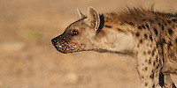 Portrait of spotted hyena with mouth soars