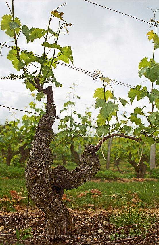 Old vine. Clos de l'Echo. Cabernet Franc. Domaine Couly Dutheil, Chinon, Loire, France