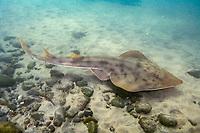 Shovelnose Guitarfish (Rhinobatos productus) San Diego, California, Eastern Pacific Ocean