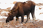 Male Moose, Late Winter, Norris Junction, Yellowstone National Park, Wyoming