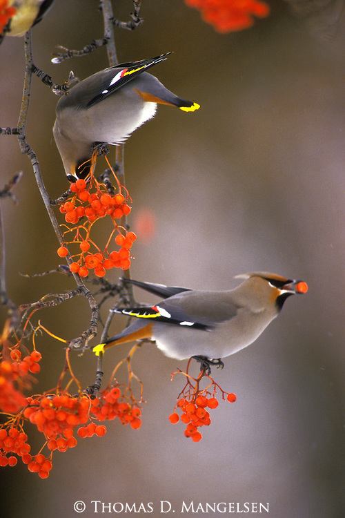 A pair of bohemian waxwings perch together on a mountain ash branch to feed on berries.