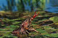 Crayfish, Crawfish,  Astacidae, adult in defensive pose, Sinton, Coastel Bend, Texas, USA, April 2005