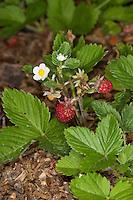 Wald-Erdbeere, Walderdbeere, Erdbeere, Früchte und Blüten, Fragaria vesca, Wild Strawberry