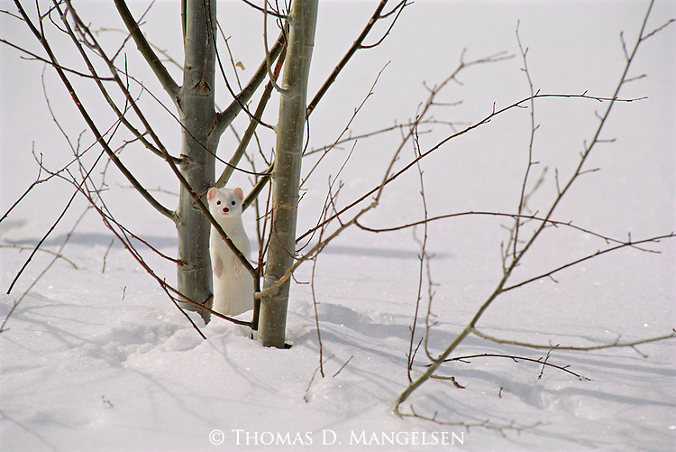 An ermine stands near a tree in the snow in Grand Teton National Park, Wyoming.