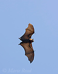 Grey-headed Flying-fox (Pteropus poliocephalus), in flight, Sydney Royal Botanic Gardens, Sydney, Australia