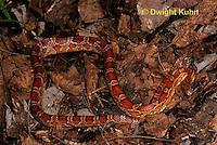 1R22-539z  Corn Snake, Banded Corn Snake, Elaphe guttata guttata or Pantherophis guttata guttata