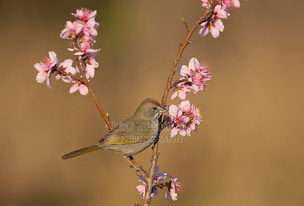 Green-tailed Towhee (Pipilo chlorurus) adult perched on peach blossom, Starr County, Rio Grande Valley, South Texas, USA
