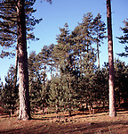 Coniferous trees, Rendlesham forest, Suffolk, England