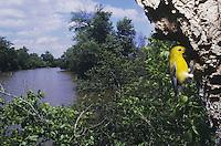 Prothonotary Warbler (Protonotaria citrea), adult at nesting cavity, Neuse River, Raleigh, Wake County, North Carolina, USA