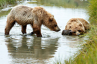 Alaska coastal brown (grizzly) bears.  Sow rests/lies in water of slough in  Lake Clark National Park Alaska.  Summer. <br /> <br /> Photo by Jeff Schultz/SchultzPhoto.com  (C) 2018  ALL RIGHTS RESERVED<br /> Amazing Views-- Into the wild photo tour 2018