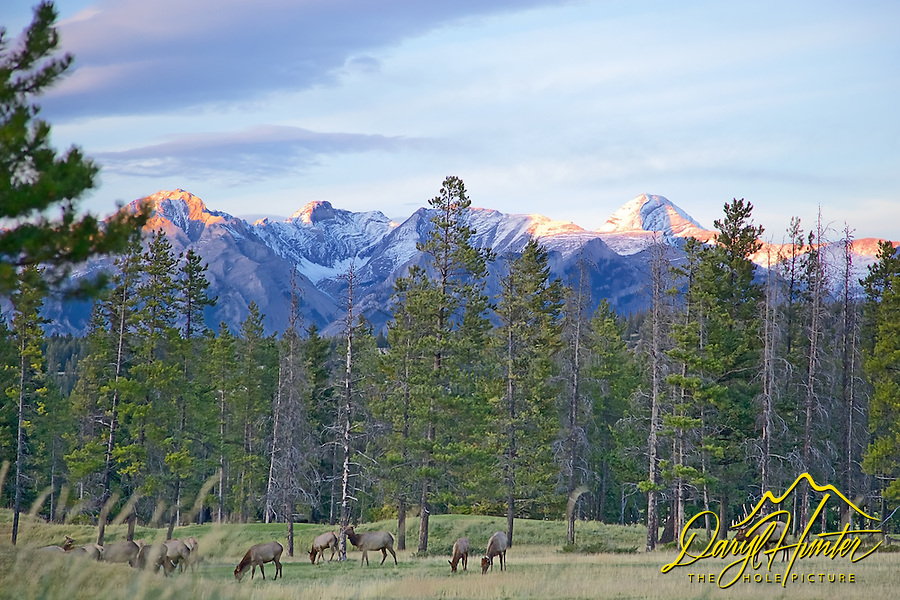 Elk herd in Banff National Park