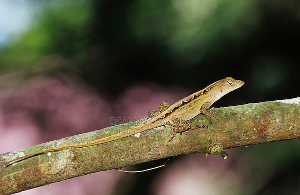 Brown Anole, Anolis sagrei, adult,The Inn at Chachalaca Bend, Cameron County, Rio Grande Valley, Texas, USA, May 2004