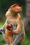Proboscis Monkey female with its baby (Nasalis larvatus), Sabah, Borneo, Malaysia.