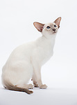 Siamese Cat, Lilac Point, Female, 6 months old