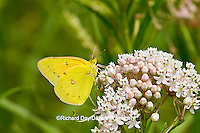 03074-00505 Orange Sulphur (Colias eurytheme) butterfly on Swamp Milkweed (Asclepias incarnata) Marion Co., IL
