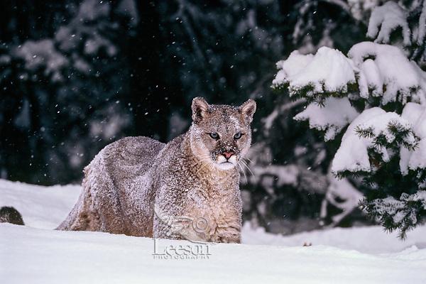 Mountain lion, cougar, or puma (Puma concolor), winter, Western U.S.