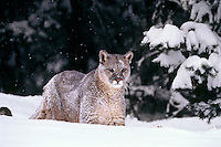 Mountain lion, cougar, or puma (Puma concolor), winter, Western U.S.