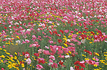 A field of Ornamental Poppies and Daisies.