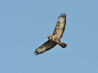 BUZZARD Buteo buteo Wingspan 115-130cm. Britain's commonest medium-sized bird of prey. Soars with broad, rounded wings held in shallow 'V', with tail fanned. Plumage is very variable and some birds are very pale. Sexes cannot be distinguished by appearance. Adult is typically brown overall; breast is finely barred and usually paler than throat or belly. In flight and from below, flight feathers and tail are grey and barred; note dark trailing edge to wings and dark terminal band on tail. Body and underwing coverts are contrastingly dark (carpal patch is darkest) and pale breast band can usually be seen. Juvenile is similar to adult but lacks terminal dark band on tail and obvious dark trailing edge to wings. Voice – utters a mewing pee-ay. Status and habitat – Present throughout the year and widespread, least numerous in east. Usually associated with lightly wooded farmland.