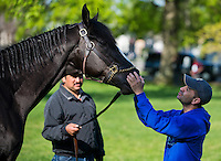 Jockey Joe Bravo tries to calm Black Onyx after he got spooked by a loud truck while walking and grazing after morning workouts for the Kentucky Derby at Churchill Downs in Louisville, Kentucky on April 30, 2013.