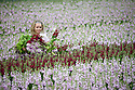 09/05/15<br /> <br /> With only ten days before the opening of the Chelsea Flower Show, Sanda Ubele (20), checks the quality of stocks being grown for Marks and Spencer's at Collinsons Cut flowers near Kings Lynn in Norfolk. <br /> <br /> The best flowers will be selected for the M&amp;S &lsquo;Blooms of the British Isles&rsquo; stand at the show.<br />  <br /> The exhibit will champion British flowers and growers, showcasing heritage varieties from Peonies and Stocks, which have been around for centuries, to new varieties, such as Orchids, which are now grown in Britain using modern techniques. It willl be opened by Joanna Lumley &ndash; the M&amp;S sustainability ambassador.<br /> <br /> M&amp;S Flower Expert, Simon Richards said: &ldquo;We are very excited to feature at Chelsea again this year, especially with a theme that is so important to M&amp;S. As a nation we grow some of the world&rsquo;s most beautiful flowers and plants. We want to celebrate these iconic blooms and champion the growers behind them.&rdquo;<br /> <br /> Chelsea Flower Show opens on May 18th and the stocks are already in stores.<br /> <br /> All Rights Reserved: F Stop Press Ltd. +44(0)1335 418629   www.fstoppress.com.