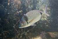 Zweibindenbrasse, Zweibindenbrassen, Zweibinden-Brasse, Zweibinden-Brassen, Geißbrassen, Geißbrasse, Diplodus vulgaris, Sargus vulgaris, Common two-banded seabream, two-banded sea bream, Twoband bream