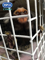 "Pictured: Lola, the marmoset monkey rescued by RSPCA Cymru after being advertised for sale on social media.<br /> Re: A monkey advertised for sale on social media has been rescued by RSPCA Cymru.<br /> A marmoset monkey has been rescued by RSPCA Cymru from a house in Blaenymaes, Swansea.<br /> The charity was alerted to the whereabouts of the monkey, named Lola, after an advertisement appeared on social media seeking to sell the animal.<br /> RSPCA Cymru arrived at the property to find the primate being kept in hugely inappropriate conditions.<br /> The monkey was loose in the living room, with a 3ft x 3ft x 3ft cage positioned in the corner with a UV light above it.<br /> The rescue took place on 21 April. It is understood the family had been keeping the monkey for approximately one year. Lola was living with a Staffie-type dog, who she would occasionally try to attack.  <br /> Following the rescue, Lola has now been moved to a specialist wildlife facility.<br /> RSPCA Cymru is campaigning for the keeping of primates as pets in Wales to be made illegal - and believes this incident is another example of why the practice should be brought to an end.<br /> Neill Manley, RSPCA Inspector, said, ""Sadly, some people like the idea of keeping a monkey as a pet, but this is another example of how unsuitable they are."