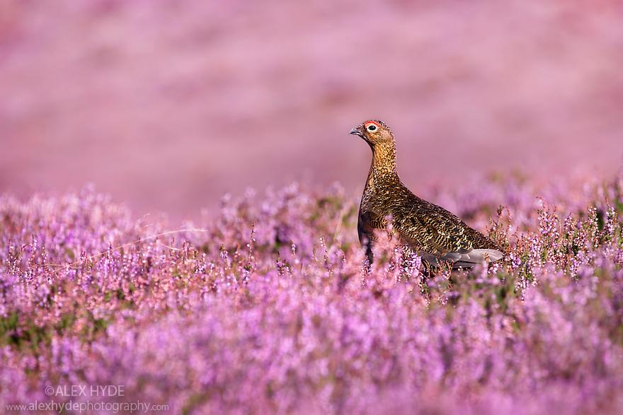 Red grouse {Lagopus lagopus scoticus} on heather moorland, Derwent Edge, Peak District National Park, Derbyshire, UK, September.