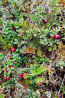 Low bush cranberries, Knight Island, Prince William Sound, Chugach National Forest, southcentral, Alaska.