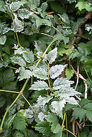 Powdery mildew plant leaf disease problem, white covering over leaves, garden disease