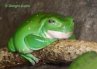 FR24-518z  Mexican Dumpy Frog, Padaymedusa dacnicolor, Mexico