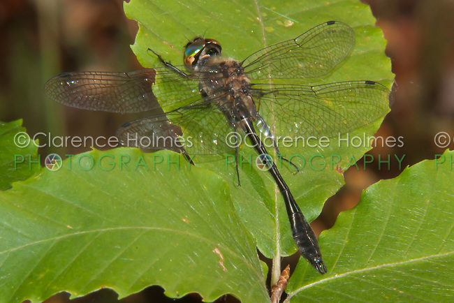Racket-tailed Emerald (Dorocordulia libera) Dragonfly - Male, Promised Land State Park, Greentown, Pike County, Pennsylvania
