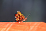 An orange butterfly attracted to an orange sleeping pad in a back country camp in Montana