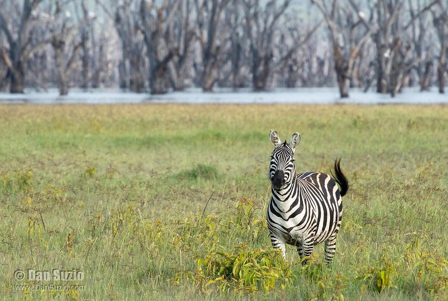 Grant's Zebra, Equus quagga boehmi, at the shore of Lake Nakuru in Lake Nakuru National Park, Kenya