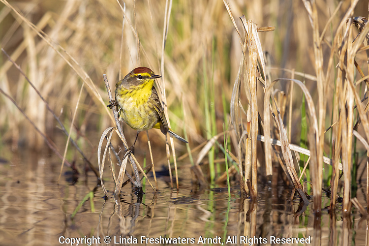 Palm warbler searching for insects at the water's edge in northern Wisconsin.