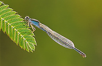 Familiar Bluet, Enallagma civile, female with dew, Willacy County, Rio Grande Valley, Texas, USA