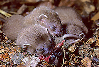Hermelijn (Mustela erminea) jongen, etend van muis. .