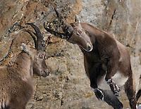 26.11.2008.Alpine Ibex (Capra ibex). Fighting..Gran Paradiso National Park, Italy