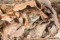 1025-0902  Torpid Eastern Gray Treefrog (Grey Tree Frog), Hibernating Under Leaf Litter and Log on Forest Floor, Hyla versicolor  © David Kuhn/Dwight Kuhn Photography