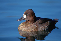35-B02-SL-106   LESSER SCAUP (Aythya affinis) female on pond, western Oregon, USA.