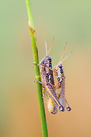 Dew-covered Atlantic Grasshoppers (Paroxya atlantica) mate on a plant stem in the cool air of early morning.