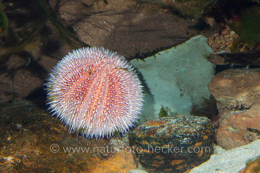 Essbarer Seeigel, See-Igel, Essbarer Seeigel, Eßbarer Seeigel, Echinus esculentus, edible sea urchin, common sea urchin