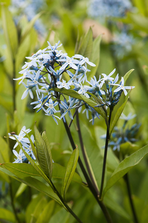 Amsonia tabernaemontana var. salicifolia, late May. Commonly known as Eastern bluestar, a perennial with pale blue, star-shaped flowers in late spring and early summer.
