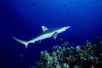 The portrait of a Hawaiian predator, the grey reef shark, Carcharhinus amblyrhynchos, Hawaii.